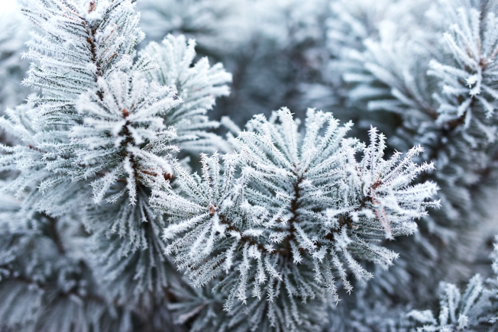 Close up of pine tree covered with frost